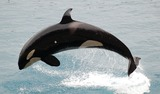 Orca Photo Gallery
