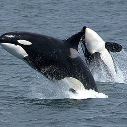 Orca Orcinus Killer Whale Killerwhales_jumping