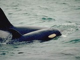 Orca Orcinus Killer Whale Orca_mother_calf