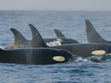 Orca Orcinus Killer Whale Orca_pod_southern_residents