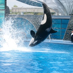 Orca Orcinus Killer Whale Shamu_at_SeaWorld