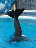 Orca Orcinus Killer Whale fluke tail_waving01