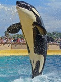 Orca Orcinus Killer Whale jumping