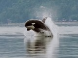 Orca Orcinus Killer Whale puget sound porpoising