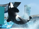 Orca Orcinus Killer Whale sea world Breaching
