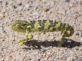 Cameleon Lizard Chamaeleonidae Chameleon Photo pigmy black green Chameleon lizard Chamaeleonidae small walking