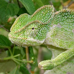 Cameleon Lizard Photo Chamaeleonidae Chameleon South_Asian_Chamaeleon_(Chamaeleo_zeylanicus)_W_IMG_1839