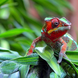 Chamaeleonidae Chameleon Cameleon Lizard Photo The_modern_pet