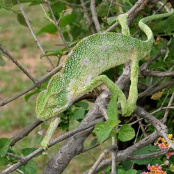 Chamaeleonidae Photo Cameleon Lizard Chameleon South_Asian_Chamaeleon_(Chamaeleo_zeylanicus)_W_IMG_1859