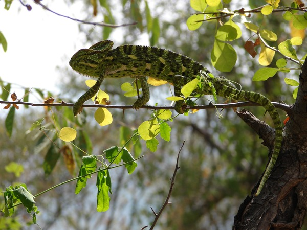 Chamaeleonidae Photo Lizard Chameleon Cameleon Chameleon lizard Chamaeleonidae tree branch color change Arun