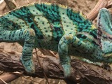 Chameleon Chamaeleonidae Lizard Photo Cameleon Veiled_chameleon,_Boston_(cropped)_jpg