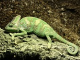 Chameleon Photo Chamaeleonidae Lizard Chamaeleo_calyptratus_Orchi common lagarto house pet