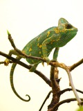 Lizard Chamaeleonidae Photo Chameleon Cameleon Washington_DC_Zoo_-_Veiled_Chameleon_1