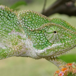 Lizard Chameleon Chamaeleonidae Cameleon Photo South_Asian_Chamaeleon_(Chamaeleo_zeylanicus)_W_IMG_1851