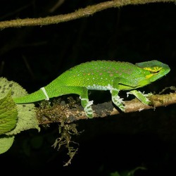 Lizard Photo Chameleon Chamaeleonidae Cameleon Chamaeleo_wiedersheimi green night