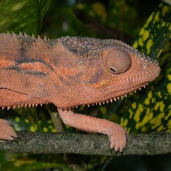 Photo Chamaeleonidae Lizard Cameleon Chameleon Chamaeleo_pardalis red close up color