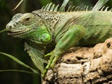 Iguana Iguanidae Lizard Photo MC_GruenerLeguan