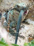 Iguana Iguanidae Photo Lizard Lizard Iguanidae Photo Iguana Green_Iguana_Eating_Another_Iguana