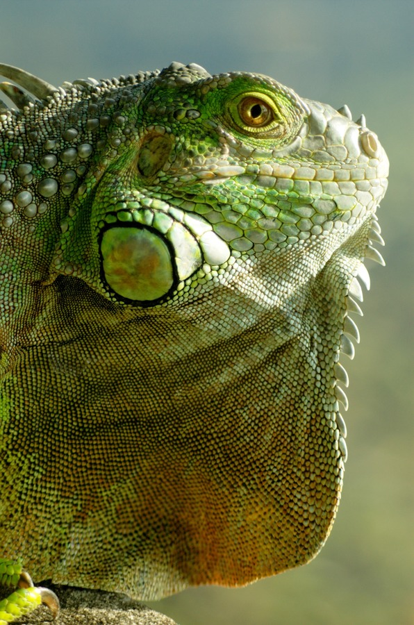 Iguana Lizard Iguanidae Photo Iguana_iguana_head