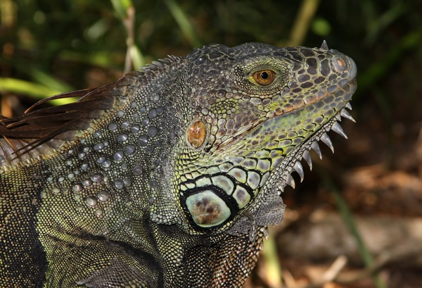 Iguana Lizard Iguanidae Photo Lizard Iguanidae Photo Iguana Iguana_iguana_male_head