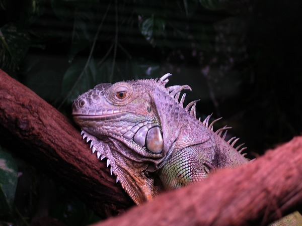Iguana Lizard Photo Iguanidae Iguana_iguana_zielony2