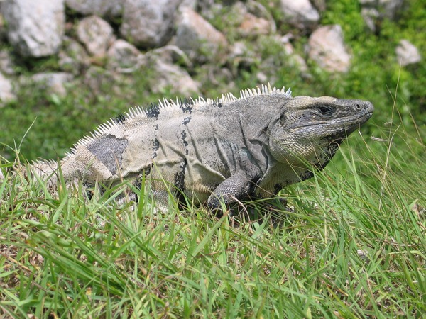 Iguana Photo Iguanidae Lizard Photo Iguana Iguanidae Lizard Lizard Photo Iguana Iguanidae Iguana_in_Mexico