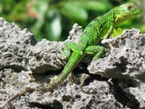 Iguana Photo Iguanidae Lizard Photo Iguana Lizard Iguanidae Green_iguana