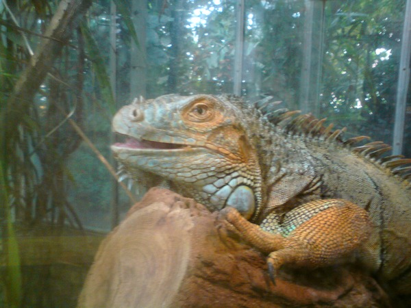 Iguana Photo Lizard Iguanidae Iguana_iguana2