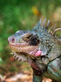 Iguana Photo Lizard Iguanidae Photo Iguana Lizard Iguanidae Lizard Iguana Photo Iguanidae Iguana Lizard Photo Iguanidae Caribbean_iguana