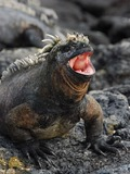 Iguanidae Lizard Photo Iguana Lizard Iguanidae Iguana Photo Fat_Marine_Iguana_opens_wide_