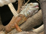 Iguanidae Photo Iguana Lizard Lizard Iguana Iguanidae Photo Brown_Iguana