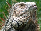 Lizard Iguana Iguanidae Photo Lizard Iguanidae Photo Iguana Iguanidae Photo Lizard Iguana Iguana_Costa_Rica