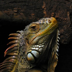 Lizard Iguana Iguanidae Photo PortraitOfAnIguana