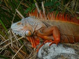 Lizard Iguana Photo Iguanidae Lizard Iguanidae Photo Iguana Cuban_Iguana_010
