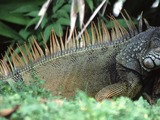 Lizard Photo Iguana Iguanidae Lizard Iguanidae Photo Iguana Iguana_iguana
