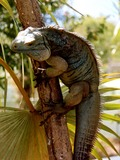 Photo Iguana Iguanidae Lizard Photo Iguanidae Iguana Lizard Blue_Iguana_in_tree