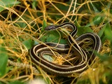 Colubridae Thamnophis garden snake common picture gater serpent Eastern_Ribbon_Snake