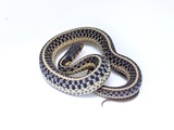 Thamnophis serpent picture common Colubridae gater snake garden Common_Garter_Snake_-_Thamnophis_sirtalis