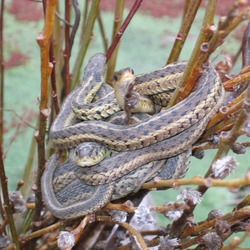 garden gater Colubridae snake Thamnophis serpent common picture Snuggling_garder_snakes_001