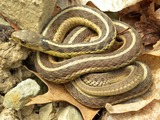 garden serpent picture gater common Colubridae snake Thamnophis Thamnophis_sirtalis_sirtalis_Wooster