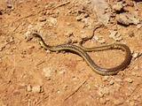 gater Thamnophis snake serpent common garden Colubridae picture Thamnophis_hammondii01