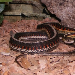 gater garden Thamnophis serpent common snake picture Colubridae Parietalis