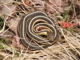serpent garden Thamnophis picture Colubridae snake common gater Thamnophis_butleri