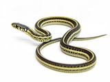snake gater picture serpent garden common Thamnophis Colubridae Poledancer