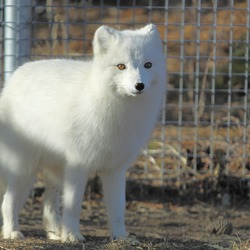 Arctic Fox Polar Picture White zoo Vulpes lagopus (2)