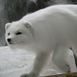 Arctic Fox Polar Picture beautiful clean Vulpes lagopus