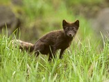 Arctic Fox Polar Picture brown cub pup