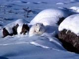 Arctic Fox Polar Picture coiled white snow