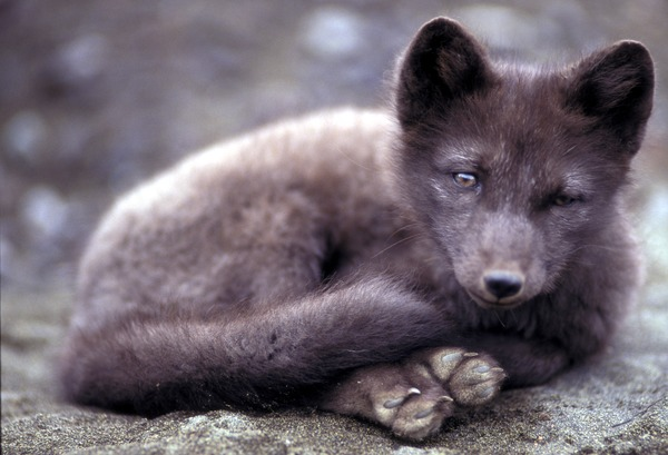 Arctic Fox Polar Picture cub greysummer coat