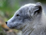 Arctic Fox Polar Picture grey cub Vulpes lagopus